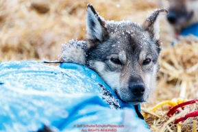 A Ketil Reitan dog rests at the Kaltag village checkpoint on Sunday morning March 11th during the 2018 Iditarod Sled Dog Race -- AlaskaPhoto by Jeff Schultz/SchultzPhoto.com  (C) 2018  ALL RIGHTS RESERVED